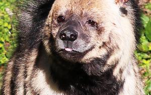 Belfast Zoo welcomes new hyaena Lea