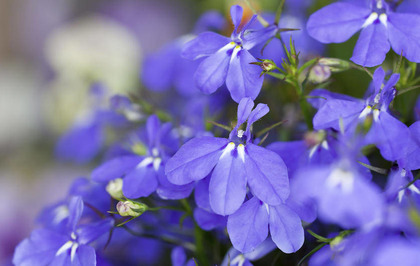 BEST OF THE BUNCH: Perennial lobelia for garden colour - The Irish News