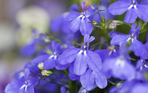 BEST OF THE BUNCH: Perennial lobelia for garden colour