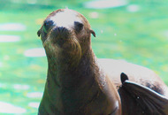 Californian sea lion pup is the latest addition to Belfast Zoo.