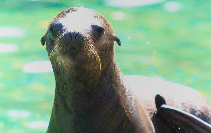 New California sea lion at Belfast Zoo
