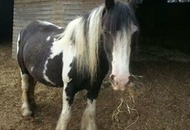 Police appeal over stolen pregnant horse