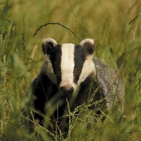 Badger culling to begin in Northern Ireland