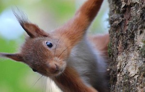 Green briefs: Slow down for red squirrels