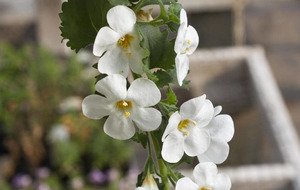 Plant of the week: Summer flower power with Bacopa