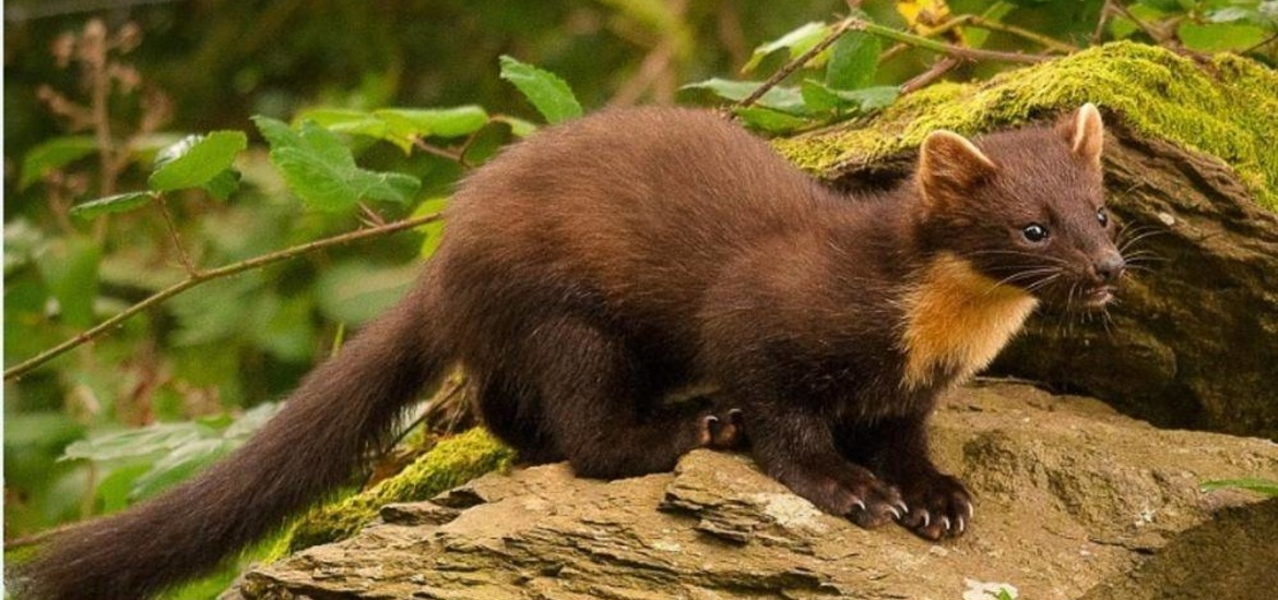 Environment Protecting Pine Martens In The North The