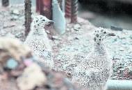Seagulls force postponement of fence work on UUJ Belfast project