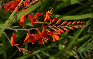 GARDENING: Plant of the week – Crocosmia for summer colour