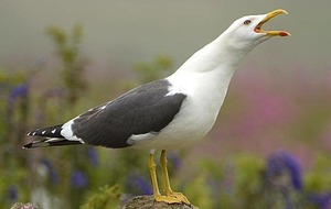 Calls for a gull cull: kneejerk or necessary?