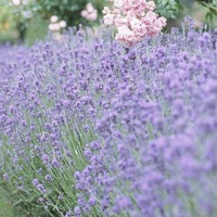 The Casual Gardner: Lavender creates a garden buzz