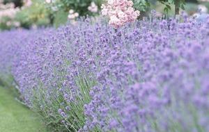 The Casual Gardner: Lavender creates a garden buzz