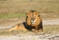 Death of Cecil the lion brings in £500,000 in donations