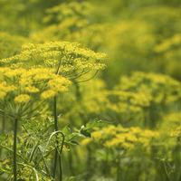 The Casual Gardener: Savour a feast of fennel