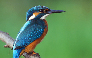 Baby kingfisher debut catches imagination
