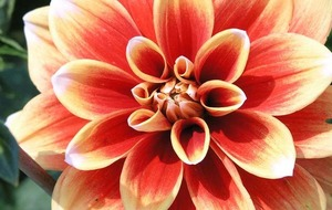 Plant of the week: Summer is here... and so are Dahlias...