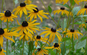 Gardening: Plant of the week –  Rudbeckia