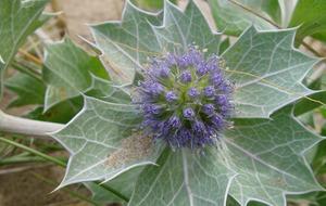Gardening: Plant of the Week – Sea Holly (Eryngium)