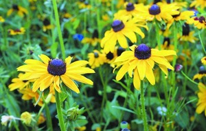 The Casual Gardener: Autumn's great daisy displays