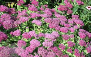 Best of the bunch: Sedum (ice plant) for autumn colour