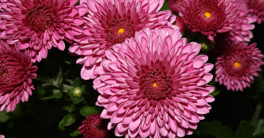 Gardening: Plant of the week - Chrysanthemums for autumn colour