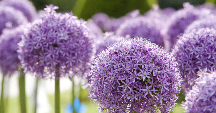 Thinking ahead with spring-flowering bulbs