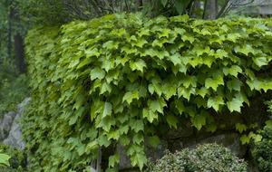 BEST OF THE BUNCH: Boston ivy (Parthenocissus tricuspidata)