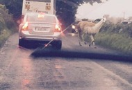 There really is a llama on the loose in Co Offaly