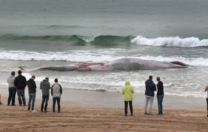 Minke whale washed up at Portstewart strand