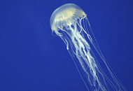 Tourist dies from Box Jellyfish sting in Thailand