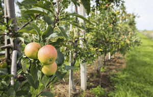 The Casual Gardener: Fruit to suit small spaces