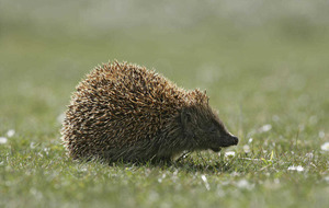 Families encouraged to be hedgehog friendly