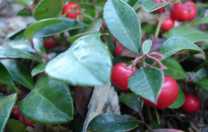 Best of the bunch – Gaultheria procumbens (checkerberry)