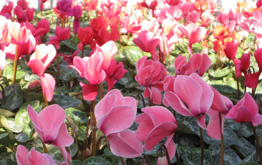 BEST OF THE BUNCH: Brighten up autumn with with cyclamen