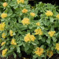 Rhodiola rosea believed to make everything rosy