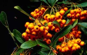 The Casual Gardener: Ablaze in the autumn haze