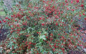 Plant of the week: Viburnum
