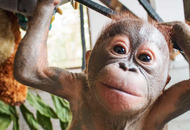 Baby Orangutan Gito recovering after being left to die