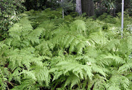 Gardening: Plant of the week – Fern