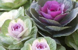BEST OF BUNCH: Ornamental Cabbage (Brassica oleracea)