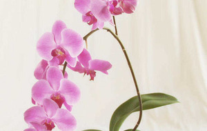 Gardening: Plant of the Week – Bring some colour to Christmas with orchids