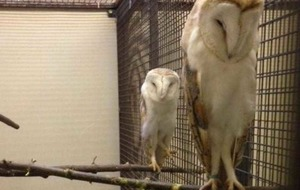 Police seize four barn owls during search in Lurgan