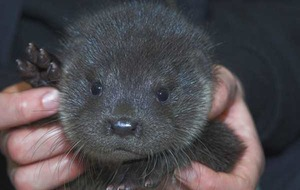 Otter cub being cared for after losing mum in Storm Desmond